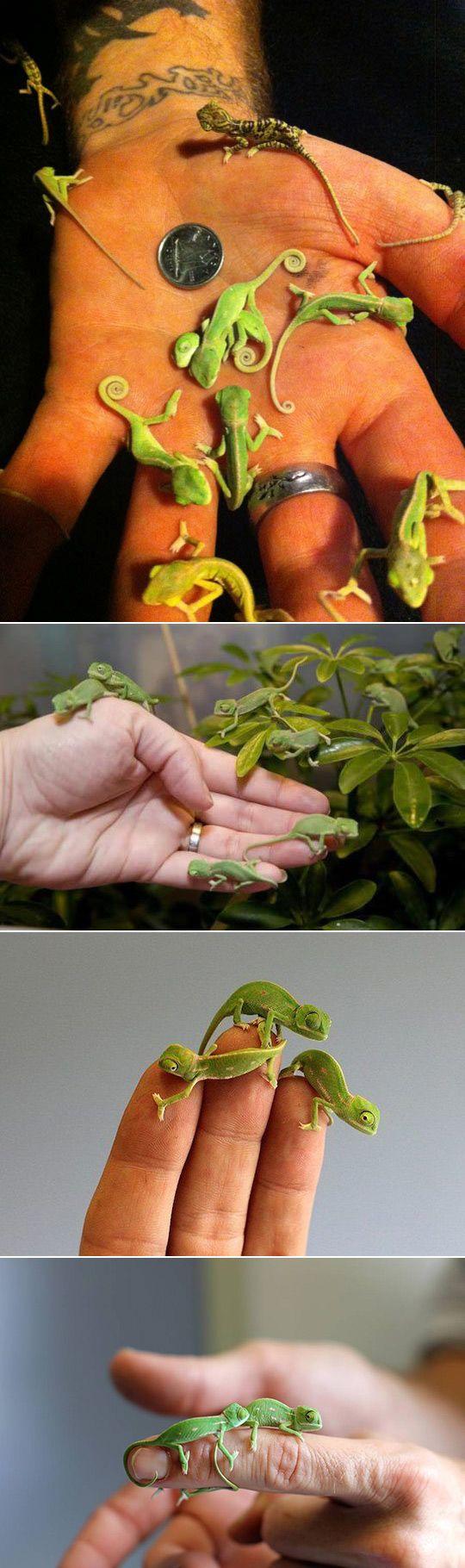 25 amazing chameleon pictures - Newborn Chameleons