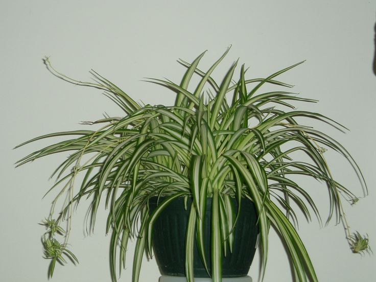 Spider Plant, also known as the Airplane Plant and the Ribbon Plant ...