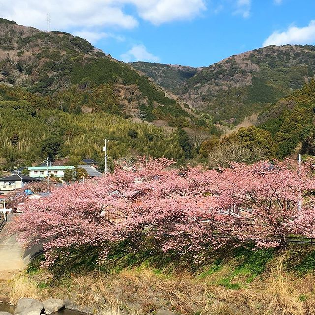【noriyuki201】さんのInstagramをピンしています。 《そこここに 桜🌸 ・ ・ #桜#春の花 #春間近 #ピンク#ピンクの花 #早咲き #河津桜#散歩#散歩中 #散歩写真 #散歩日和 #カメラ日和 #カメラ好きな人と繋がりたい #写真好き #写真を撮るのが好き #写真好きな人と繋がりたい #写真散歩 #spring #cherryblossom #izu #japan #japan🇯🇵》