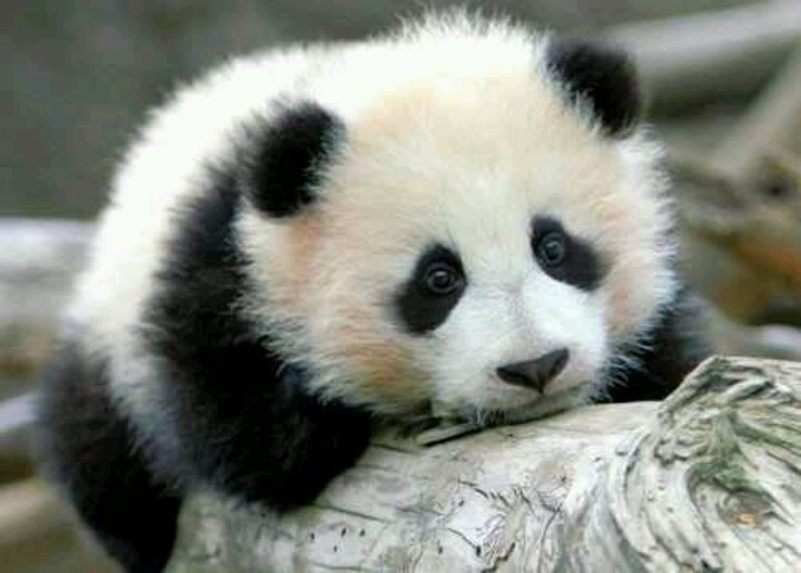 bear Adult panda