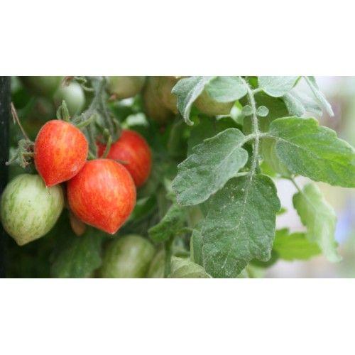 En lille busktomat, hvor planten bliver cirka 20 cm høj og hænger smukt ud over pottekanten. Løvet er som sølv, fint gråligt og håret! Tomaterne er røde med gule striber, i cocktailstørrelse. En meget dekorativ tomat til vindueskarmen eller terrassen. Skal ikke knibes.