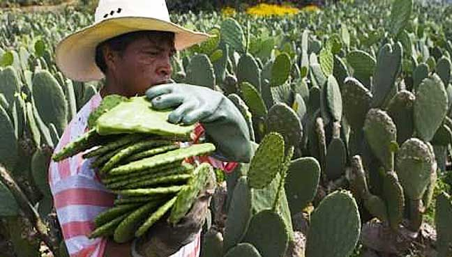 UN dishes up prickly pear cactus in answer to food security   The UN's Food and Agriculture Organization urged farmers to treat the cactus as a crop rather than as a weed.  ROME: The prickly pear cactus considered an essential food in Mexico could be the answer to much of the worlds food security woes the UNs Food and Agriculture Organization (FAO) said Thursday.  While most cacti are inedible the Opuntia species has much to offer especially if treated like a crop rather than a weed run wild…