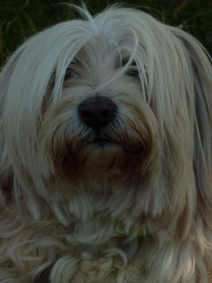 Benjamin - my adorable Tibetan Terrier