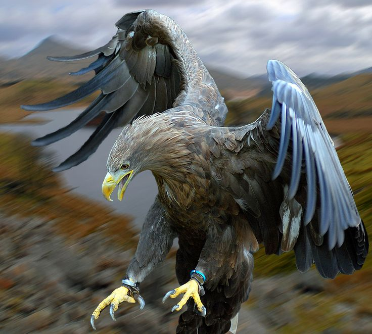 The White-tailed Eagle (Haliaeetus albicilla[2]) — also called the Sea Eagle, Erne (sometimes Ern), and White-tailed Sea-eagle — is a large bird of prey in the family Accipitridae which includes other raptors such as hawks, kites, and harriers. It is considered a close cousin of the Bald Eagle and occupies the same ecological niche, but in Eurasia.