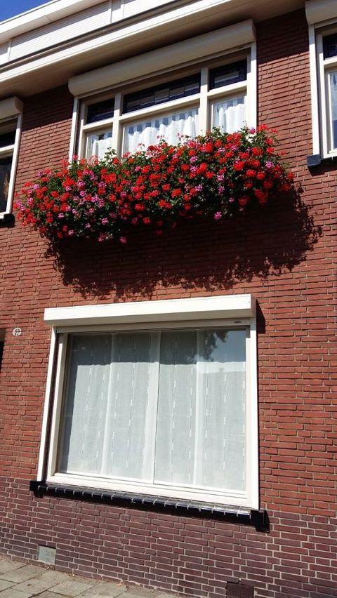 Rode geraniums extreme