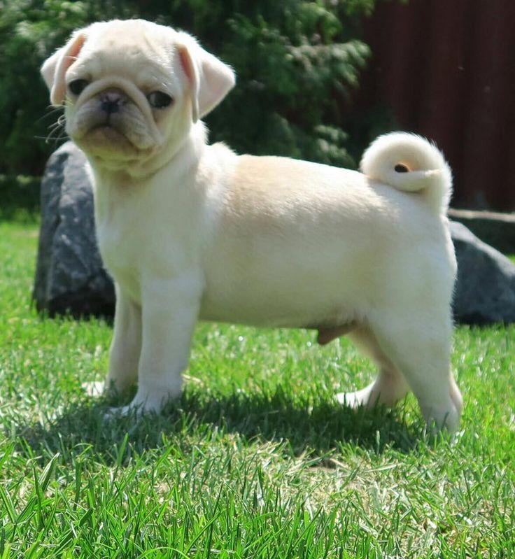Cute White Pug Puppy                                                                                                                                                                                 More
