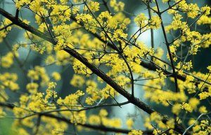 Winter-flowering plants: Cornus mas