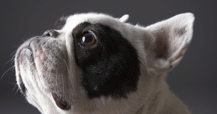 Como dar banho em buldogues franceses. Buldogues franceses são cães de companhia com pelo curto, então, a menos que o seu esteja sempre aprontando, ele não precisará de banhos muito frequentes — uma vez por mês é mais do que suficiente. Esses cachorros têm personalidades fortes e podem ser teimosos, então, é importante acostumá-los com o banho desde cedo. Dessa maneira, você não terá ...