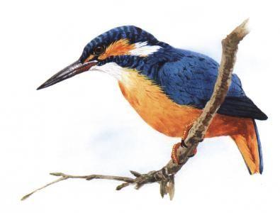 rybárik riečny (Alcedo atthis)