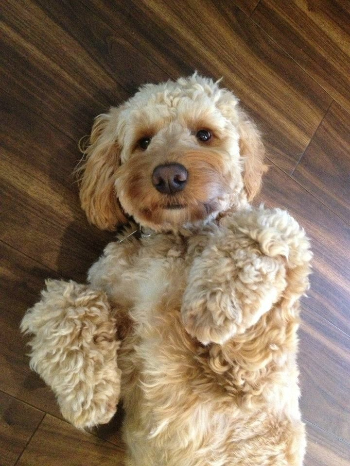 Can you please rub my belly and don't stop after a few seconds! #cockapoo