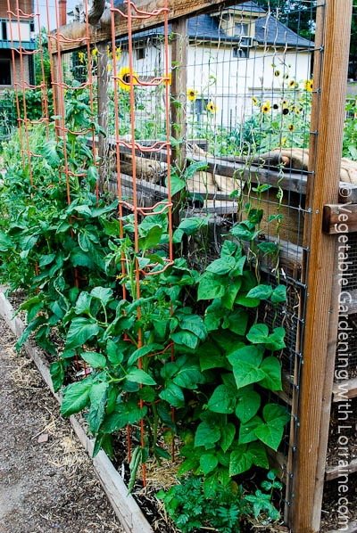 bean trellis built along the back of triple compost bins