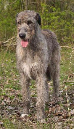 3. Irish Wolfhound  Irish Wolfhounds are said to be the tallest dog breed. Historically, the Irish Wolfhound's astonishing size, speed, and intelligence made them ideal animals for hunting wolves and boars, though they are quite docile and friendly in nature. With a robust and muscular build, males can attain the stature of a small pony. The Irish Wolfhound can reach up to 7 feet tall when standing on its hind legs and weigh 90 to 150 lbs.