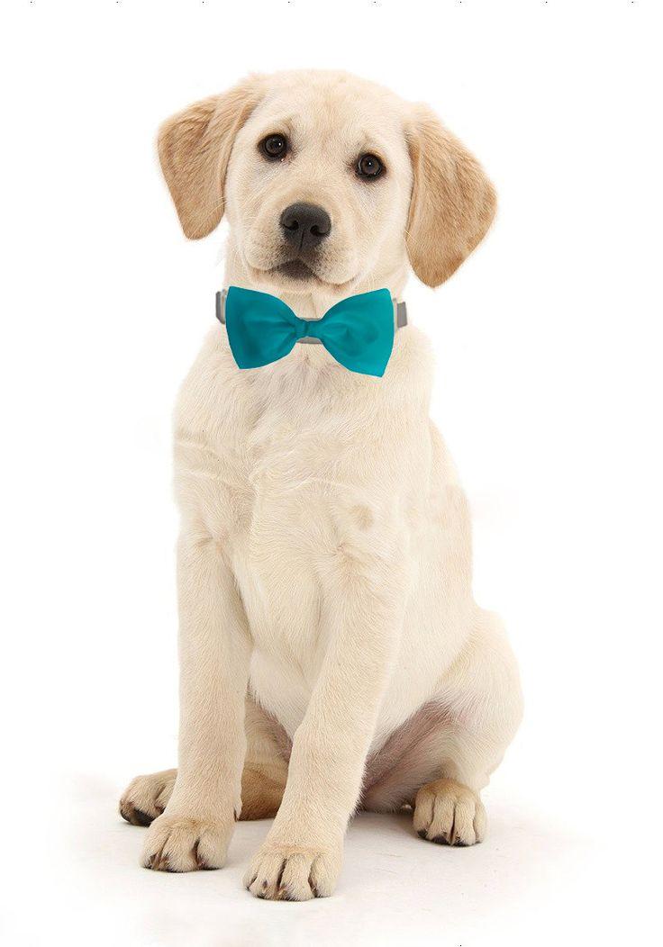 Good Dog Collar Bow Adorable Dog - da2d968b716505457cdf8508a7c329dd--bow-ties-for-dogs-dog-bows  Trends_414598  .jpg
