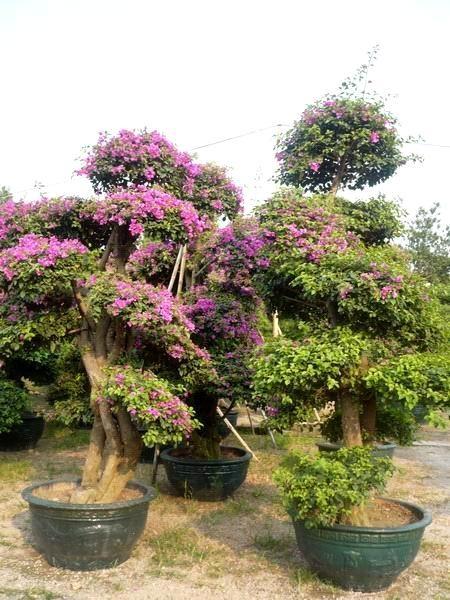 82 best images about bugambilias on pinterest trees for Bougainvillea bonsai prezzo