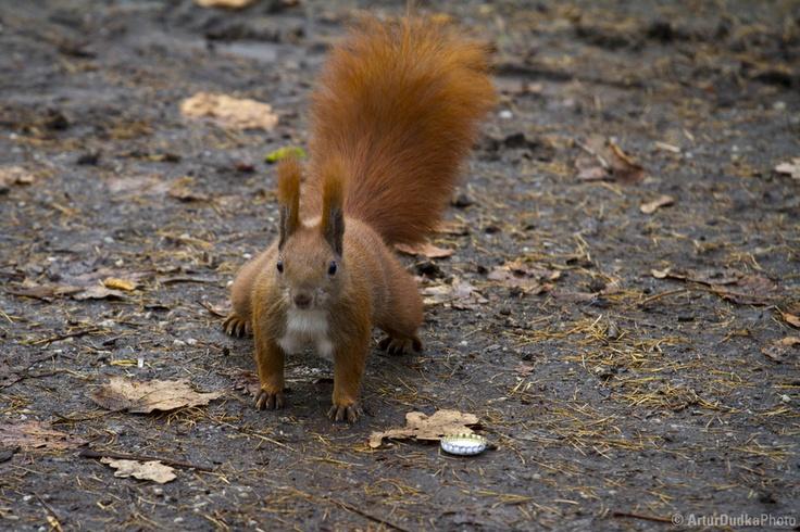 The squirrel in Kalisz, Poland