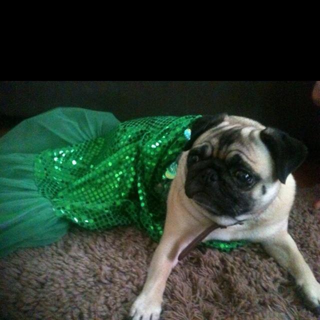 Pug mermaid #costume
