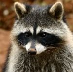 Raccoon Control Apopka provides professional wildlife control for residential customers in the city of Apopka in Florida. Our services for raccoon removal include: Trapping, Relocating, repairs, Decontamination and Clean up. Visit our site or call us now at 407-373-4515. More details:http://www.critterandpestdefense.com/raccoon-removal/