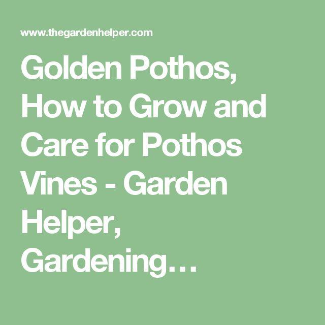Golden Pothos, How to Grow and Care for Pothos Vines - Garden Helper, Gardening…