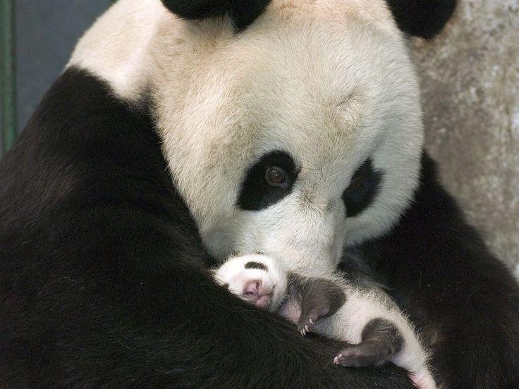Meu Animal é 10.: OS URSOS PANDAS                              …