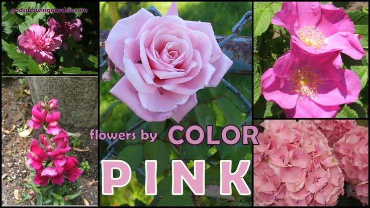 Featuring #pink #flowers grown in my #garden by: http://www.godsgrowinggarden.com/2017/06/flowers-by-color-pink.html