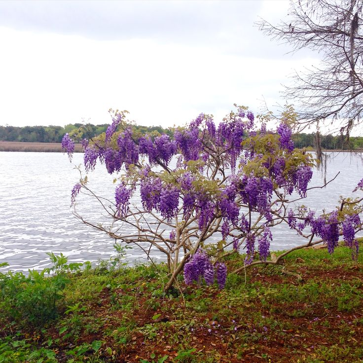 Lovely wisteria on Fowl River this spring!