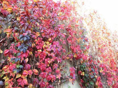 WWW Wiersze Wycieczki Wspomnienia: Haiku o jesieni: Czerwień winorośli