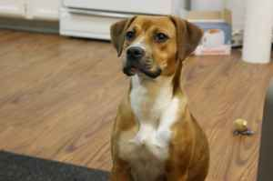 mutt-boxer-beagle-mix looks just like my Baxter