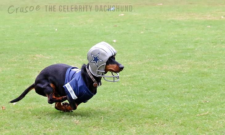 This  Dachshund is in the wrong uniform   Needs to be in a New England Patriots..uniform    but a cute Doxie