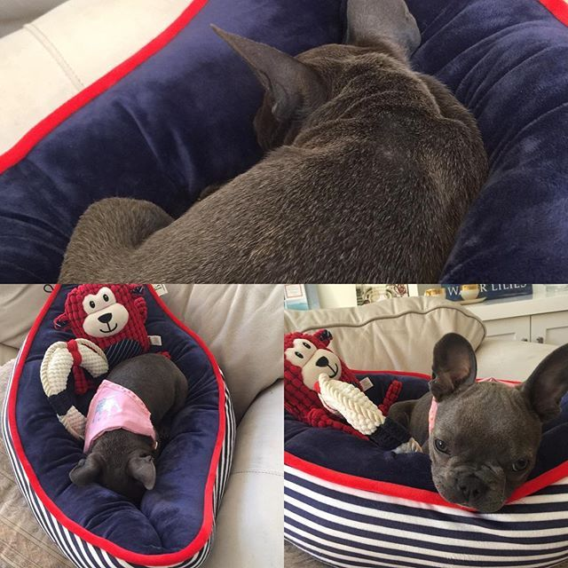 Best day of my life!!! I got a surprise gift delivered today!!! New bed and new toys!!! All from Ellen Degeneres' line for Petco. Such quality!!! #ellendegeneres #bellableu12 #lajolla #frenchbulldogsofinstagram #frenchies #lajollalife #lajollalocals #sandiegoconnection #sdlocals #sandiegolocals - posted by Bella Bleu  https://www.instagram.com/bellableu12. See more post on La Jolla at http://LaJollaLocals.com
