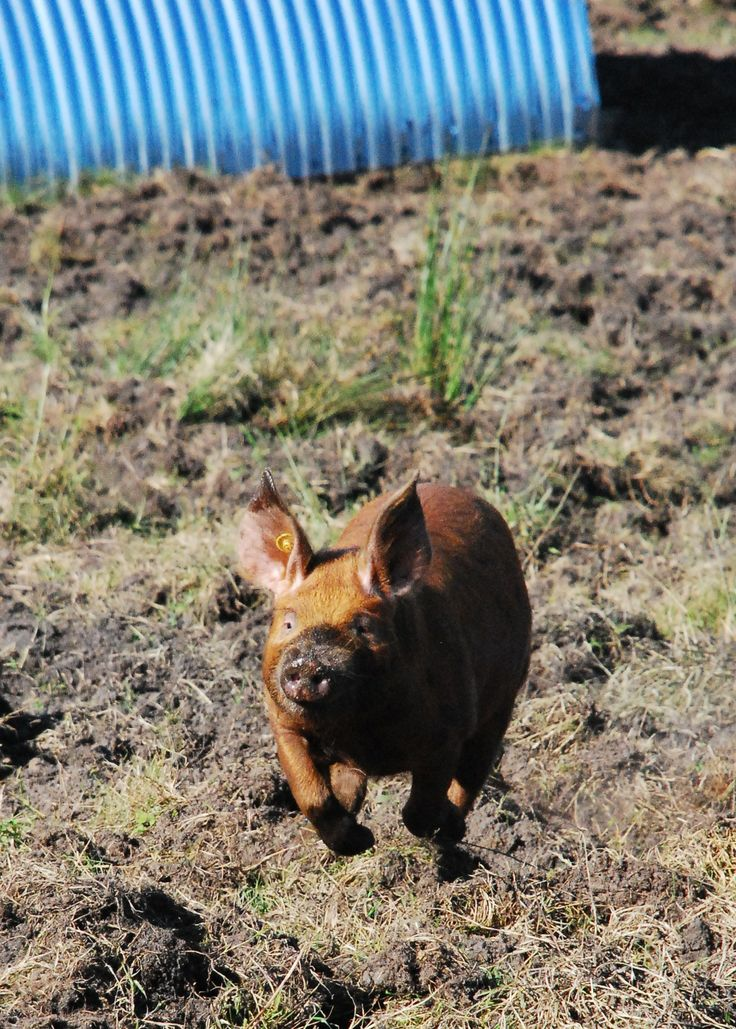 Flying pigs We love our Oxford Sandy and Black pigs and we really love this great photo.http://www.littlewhitealice.co.uk/look-around/marley-and-friends.