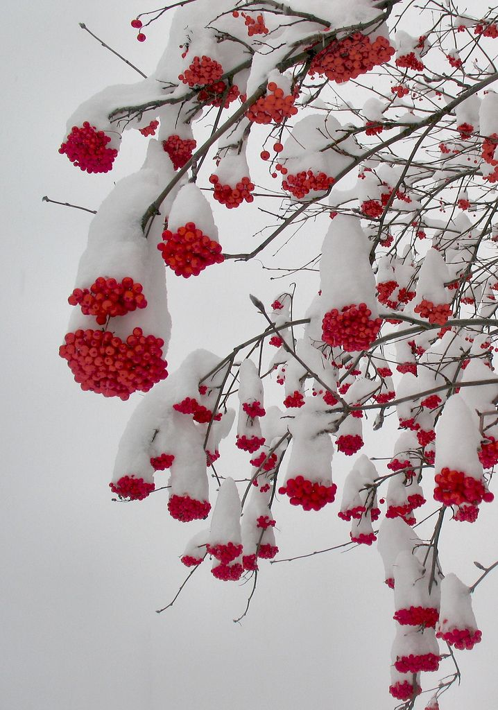 Frosted Red berries in winter