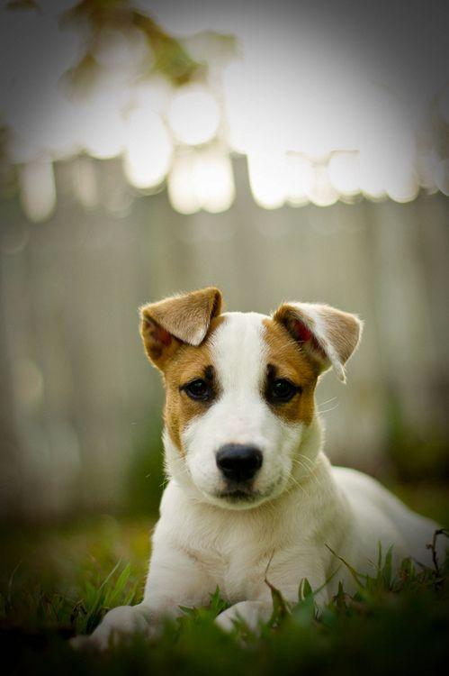 17 best ideas about chien races on pinterest mini chiens races de chiens and races de chien. Black Bedroom Furniture Sets. Home Design Ideas