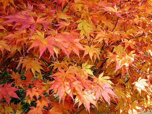 Golden Chinese Maple