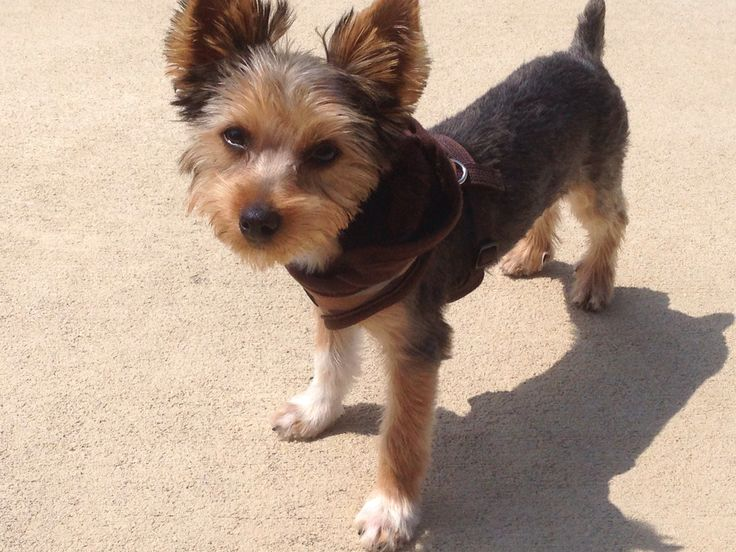 17 Best Images About Yorkie Haircuts On Pinterest Kinds