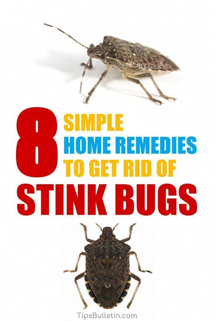 da3279fc57f5c779dfe1bc69342d13de - How To Get Rid Of Stink Bugs At Home