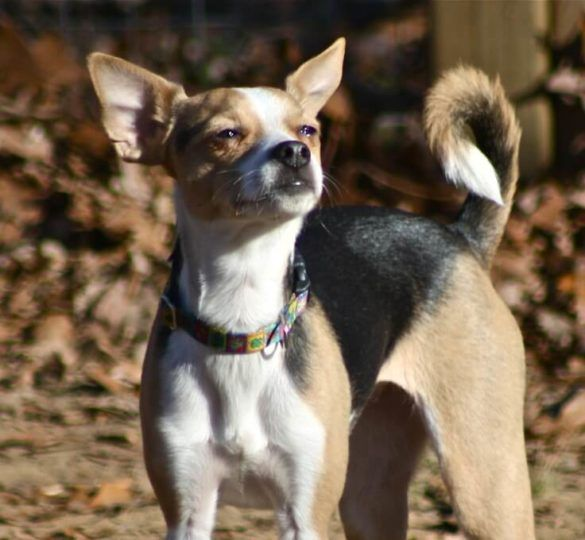 Rat Terrier Chihuahua Mix Ratcha Ratchi Puppies With Images
