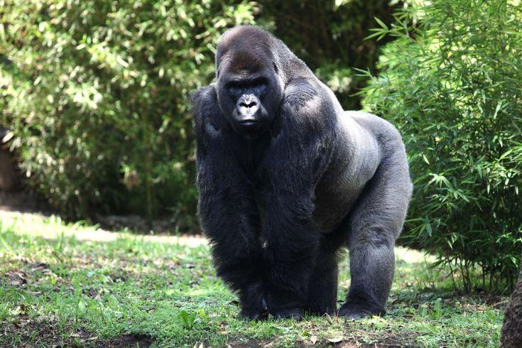 El gorila Bantú muere durante su traslado para buscar pareja en Guadalajara