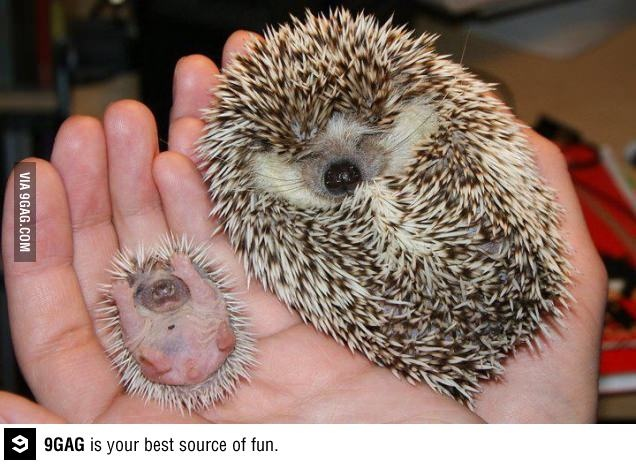 While mother hedgehog takes a nap, it's party time for baby.