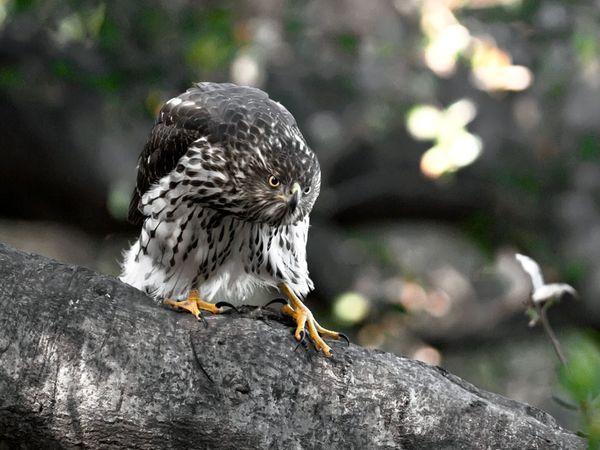 Coopers Hawk: Birds Of Prey, Cat, Wildlife Photography, Funny Animal, Bridges, Hawks Photography, Cooper Hawks, Animal Photos, Hawks Photographers