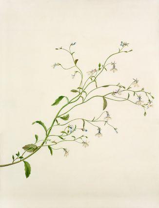 Margaret Meen -- Lobelia sp. -- Margaret Meen -- Artists -- RHS Prints
