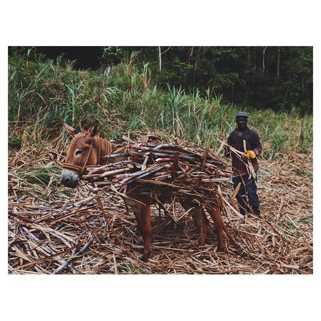 On our way to Worthy Park, we met Michael who was working in his sugar cane fields. He and two others had cut all the sugar cane down by hand. He was then loading it onto the donkey and walking it up to the road to stack for truck pickup. I have so much respect for this hard working man! @visitjamaica .  .