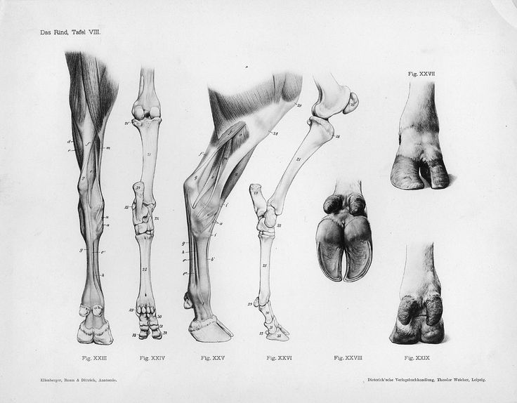 Horse Anatomy By Herman Dittrich Hind Legs: 101 Best Animals Images On Pinterest