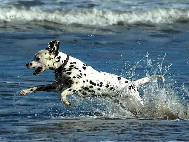 Dalmatian Breeders | Find a Local Dalmatian Dog Breeder at Petstew.com