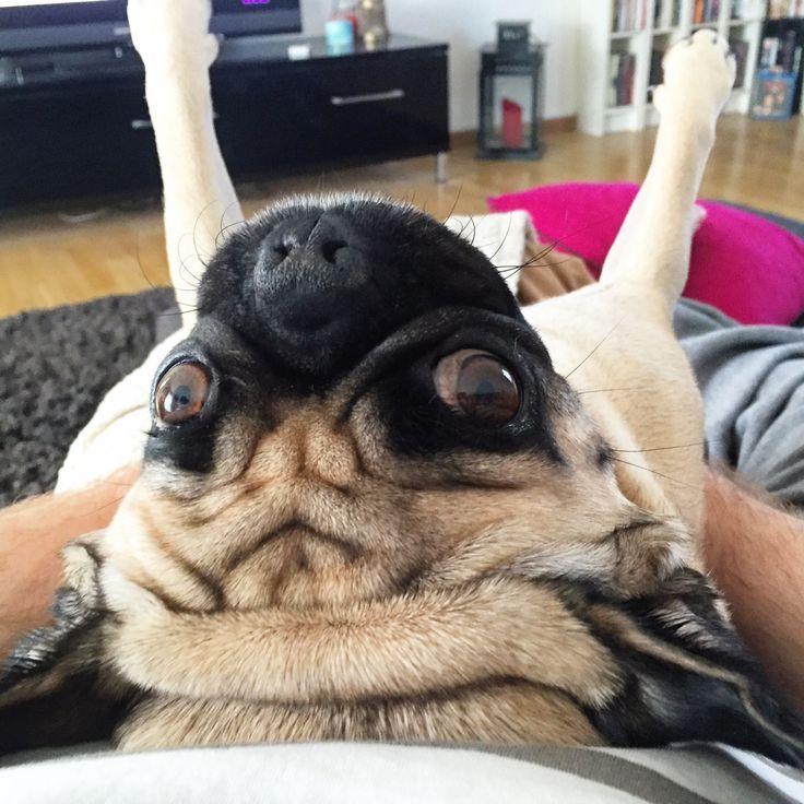 Pug planking