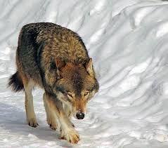 Relatos de Barrios detrás de la cortina: Luna llena y el lobo aúlla.