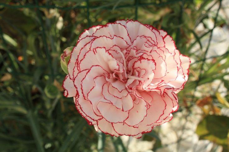 Flor - cravo túnico