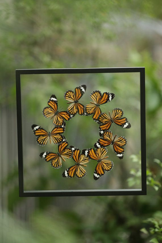 Taxidermy Butterfly Glass Frame Display Mounted by BugsDirect