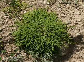 Şifalı bitkiler - alpturks.com - DİL FELCİ