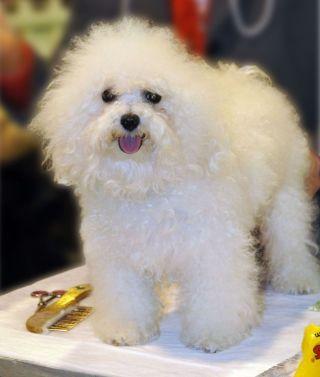 Dolcissimo il nostro amico!!! #Cane# #Bolognese#