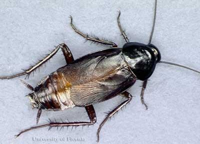 Koloniler halinde yaşayan hamam böcekleri anatomisi ve hamam böceği ilaçlama uygulamları.